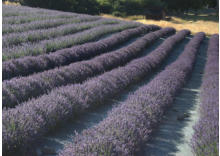 The English Lavender Farm